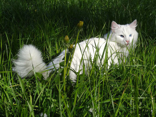 10. 4. 2014 genussvoll durchs hohe Gras...