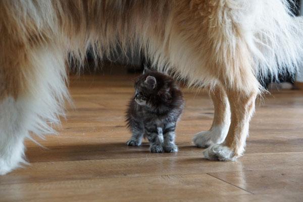 mit 5.5 Wochen lernt er ganz bewusst den Hund kennen - ziemlich beeindruckend...