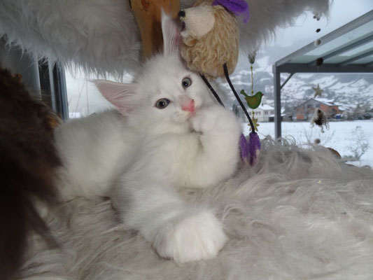 den grossen Katzenbaum erobert - 8 Wochen alt