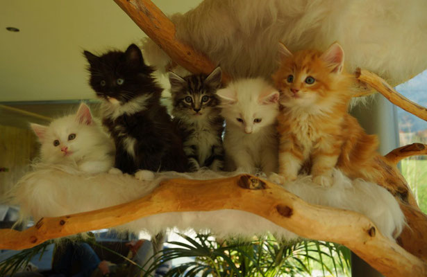 Cilla, Candy, Caruso, Calaya, Caspar (v.l.n.r.) 7 Wochen alt