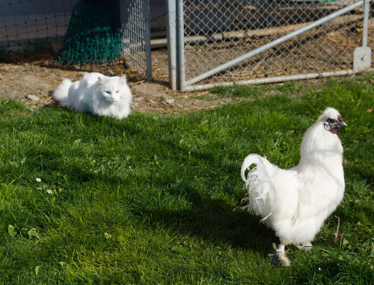 """gerne """"bewacht"""" sie ihre Freunde im Hühnerauslauf - der Güggel würde das zwar lieber selber machen ;-)"""