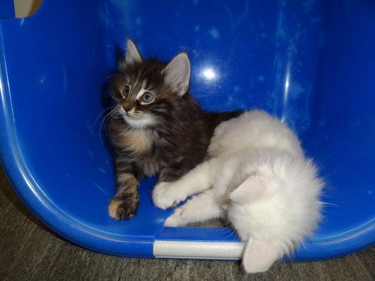 Djamila und Dusty, 7 Wochen alt