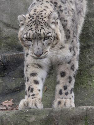 Bild-Nr. PC113381 / junger Schneeleopard