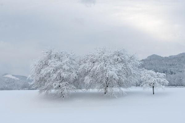 Kirschbäume im Winterkleid