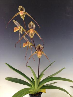 ドーサルがとても丸くてペタルがフラットなrothschildianum似の花