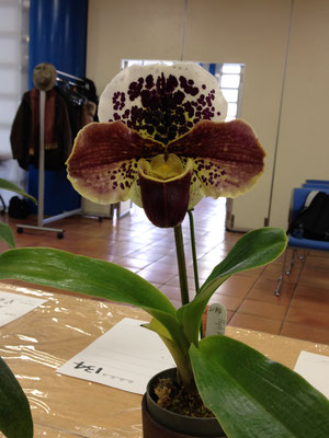 国内作出新花賞5位 (Acromantula x Mem. Sabrina Mark) 'Issiki Superb'