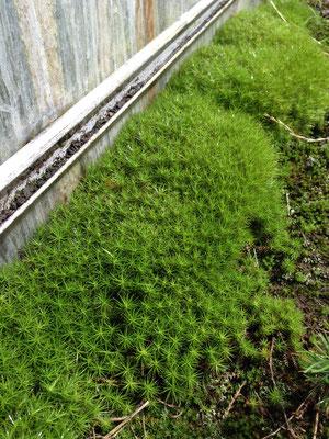 温室の外の苔も瑞々しいです
