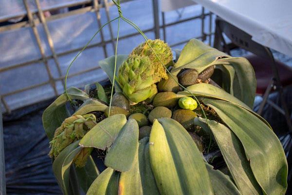 人気投票1位 Alexej賞 Bulb. phalaenopsis 'Tsukuba' 伊東 忠夫様