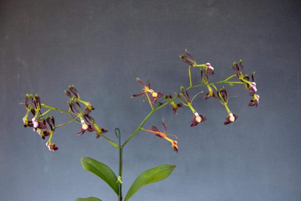 Hiro's Pitcher Plants賞 Epi. melanoparphyreum 笠原 隆義様