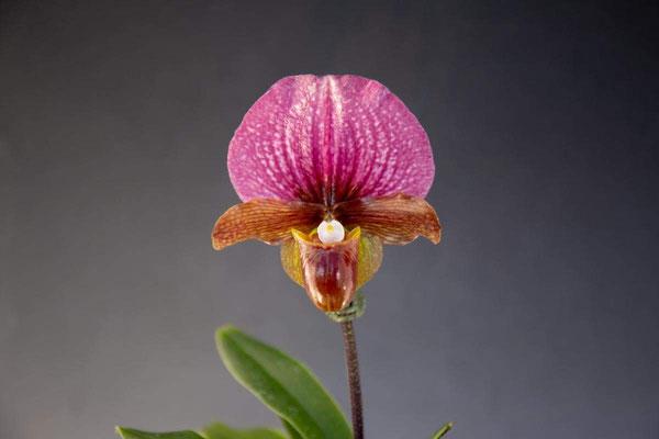人気投票2位 Orchid Inn賞 Paph. charlesworthii 坂本 英昭様