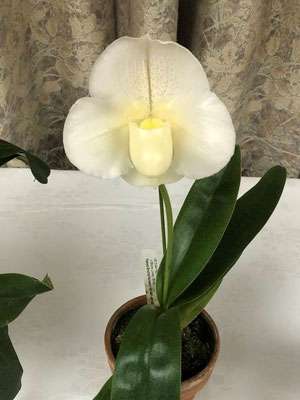 1位 村上周次様出品の Paph. (Snow Galaxy x Stone Lovely) 'Change Up'