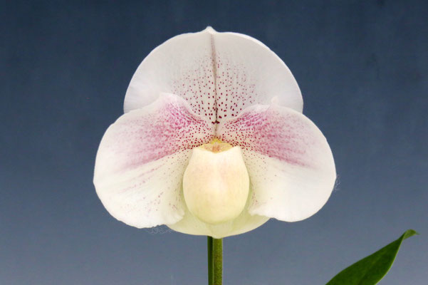 人気投票第5位 清水 達夫様出展 Paph. (Snow Galaxy 'Pretty' x Stone Lovely 'Shrex')