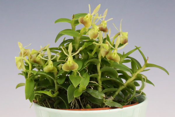 Hiro's Pitcher Plants賞 清水 敬夫様出展 Epi. porpax