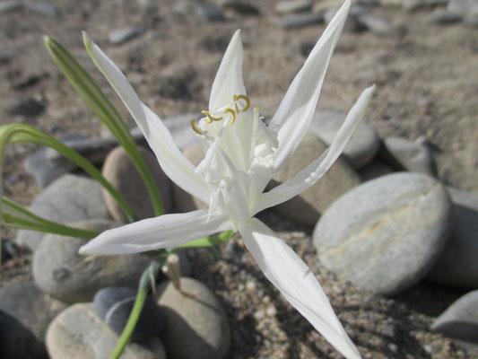 Blühende weiße Strandlilie