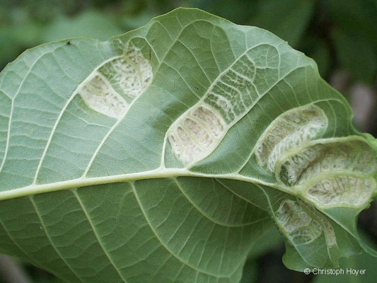 Filzgallmilbe (Aceria erineus Syn. Eriophyes erineus) an Walnuss (Juglans regia) - Schadbild Sommer