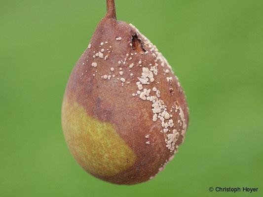 Birne - Monilia-Fruchtfäule