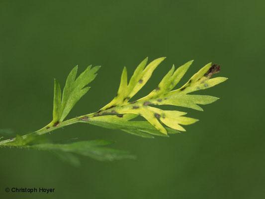 pilzliche Blattflecken an Möhre