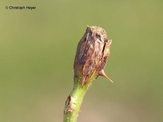 Gallmücke an Brombeere - Schadbild