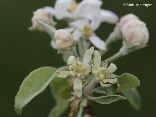 Echter Mehltau an Apfelblüte