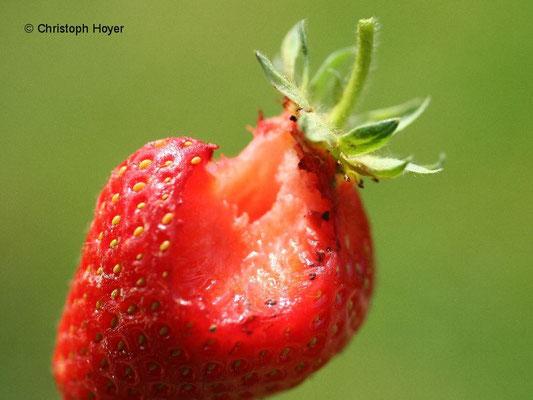 Mäusefraß an Erdbeere