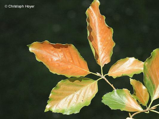 Buche (Fagus sylvatica) - Verbrennungssymptome am Blatt