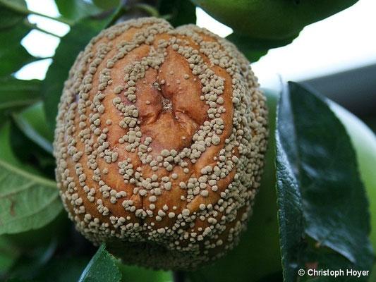 Monilia-Fruchtfäule an Apfel