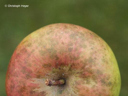 Rußfleckenkrankheit an Apfel