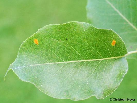 Birnengitterrost - Blattsymptome im Frühjahr