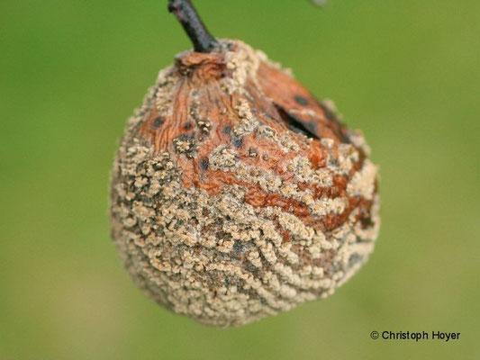 Monilia-Fruchtfäule an Quitte