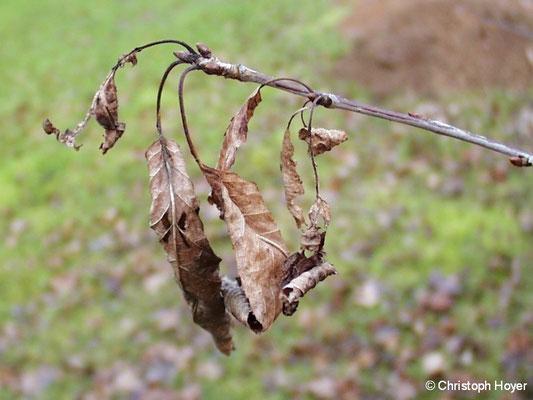 Blattbräune an Süßkirsche im Winter