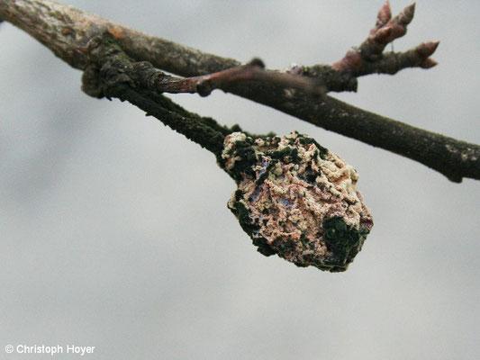 Monilia Fruchtmumie Zwetsche