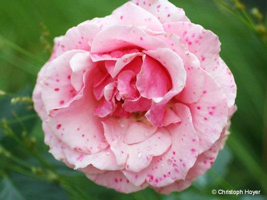 Blütenpocken durch Grauschimmelinfektionen an Rose