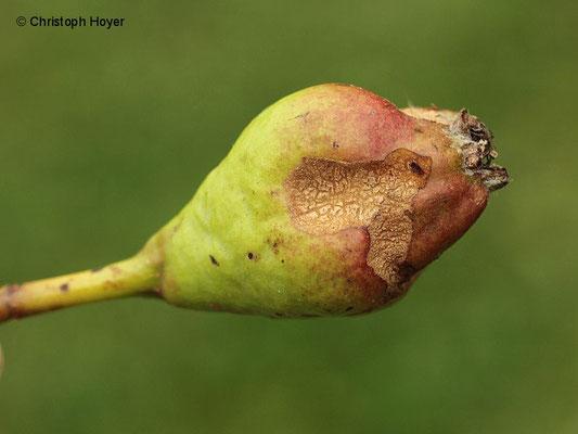 Frostspanner - Fraß an Birnenfrucht