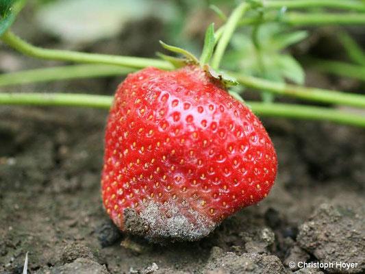 Grauschimmel an Erdbeere