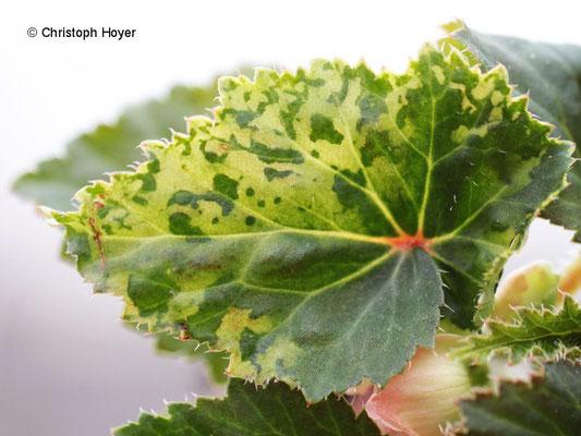 Virussymptome an Knollenbegonie (Begonia x tuberhybrida)
