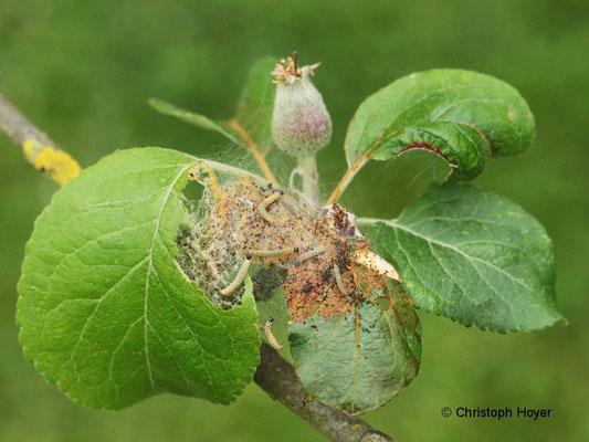 Apfelbaumgespinstmotte - Schadbild