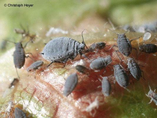Blattläuse (Dysaphis crataegi) an Weißdorn