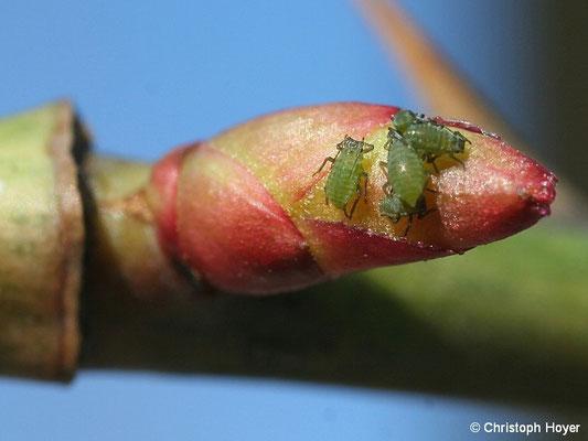 Rosenblattläuse - frisch geschlüpft im Februar