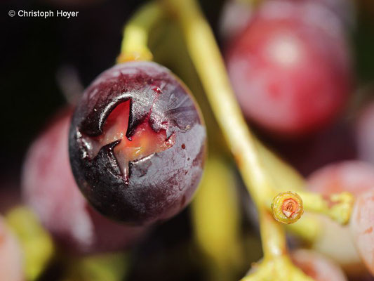 Wespenfraß an Weinbeere - Schadbild