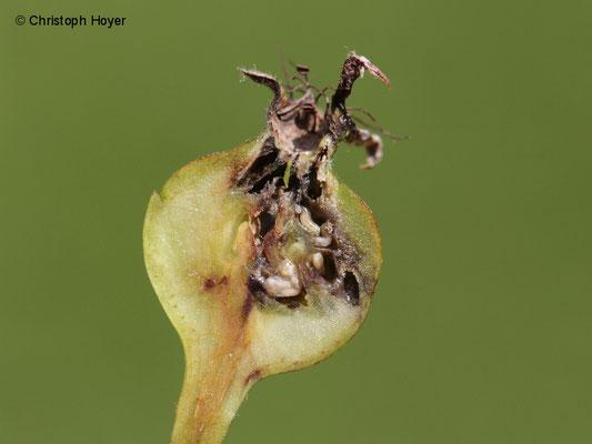 Birnengallmücke - Schadbild - verdickte Früchte aufgeschnitten