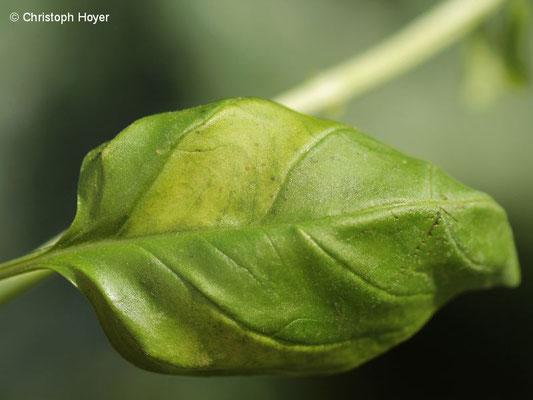 Falscher Mehltau (Peronospora belbahrii) an Basilikum (Ocimum basilicum)