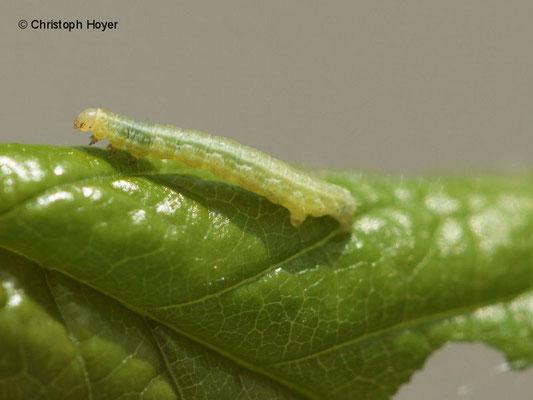 Kleiner Frostspanner (Operophtera brumata) an Vogelkische (Prunus avium) - Larve
