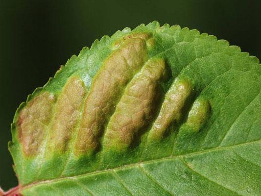 Blasige Blattgallen (Taphrina wiesneri, Syn. T. cerasi) an Vogelkirsche (Prunus avium)