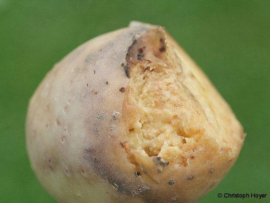 Kraut- und Knollenfäule - Schadbild Knolle