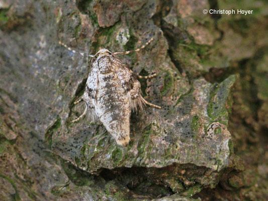 Kleiner Frostspanner (Operophtera brumata) - Weibchen