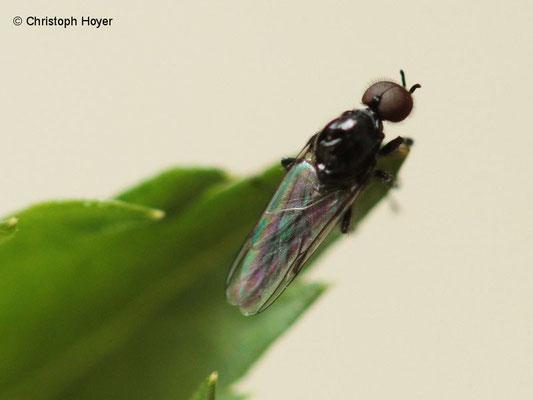 Haarmücke Männchen