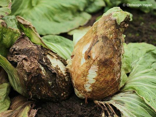 Fäule an Zuckerhutsalat