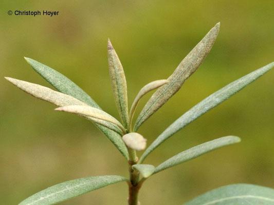 Spinnmilben an Oleander - Schadbild