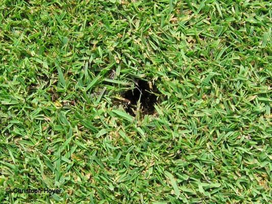 Schnakenlarven- Fraßgang in Golfrasen