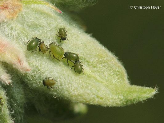 Apfelgraslaus (Rhopalosiphum insertum)